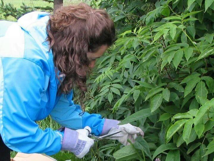 AEM collecting comfrey in Alaska